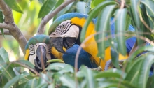 Courting Blue and Yellow Macaws, Pantanal, Brazil