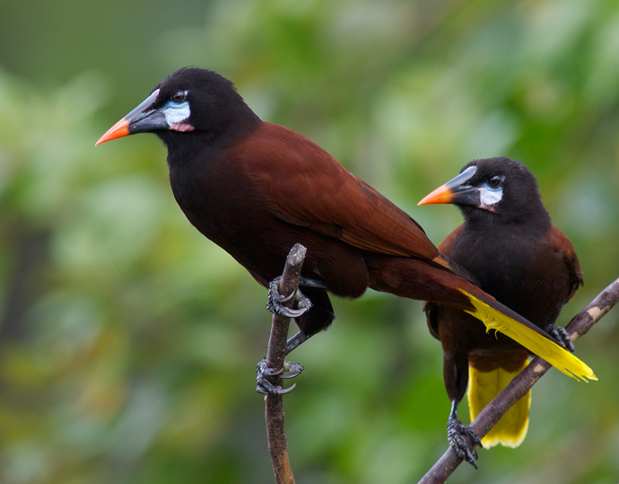 Montezuma Oropendolas, Arenal, Costa Rica, 2013