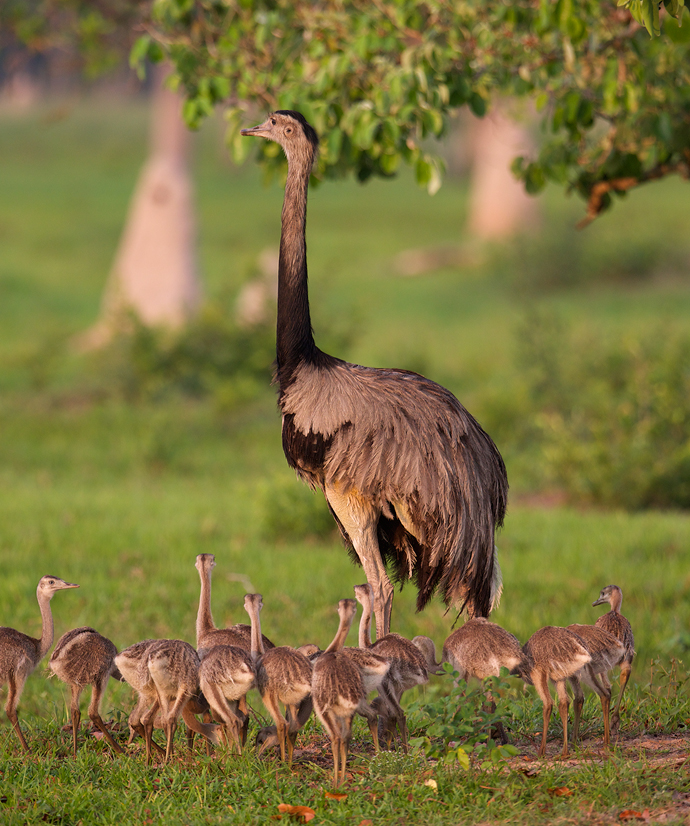 Greater Rhea with About Half of His Brood