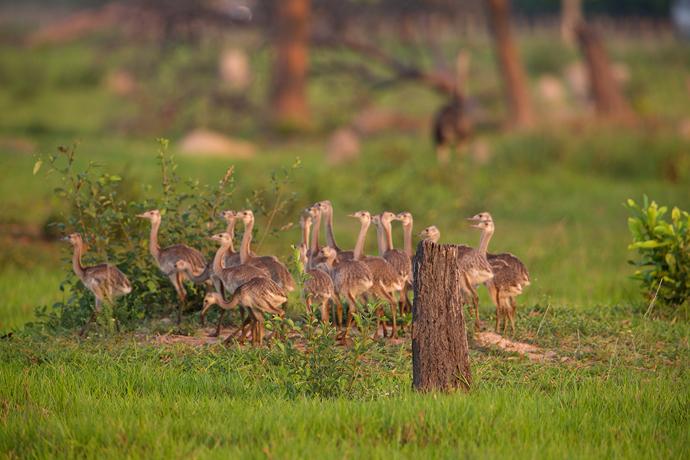 Greater Rhea Chicks