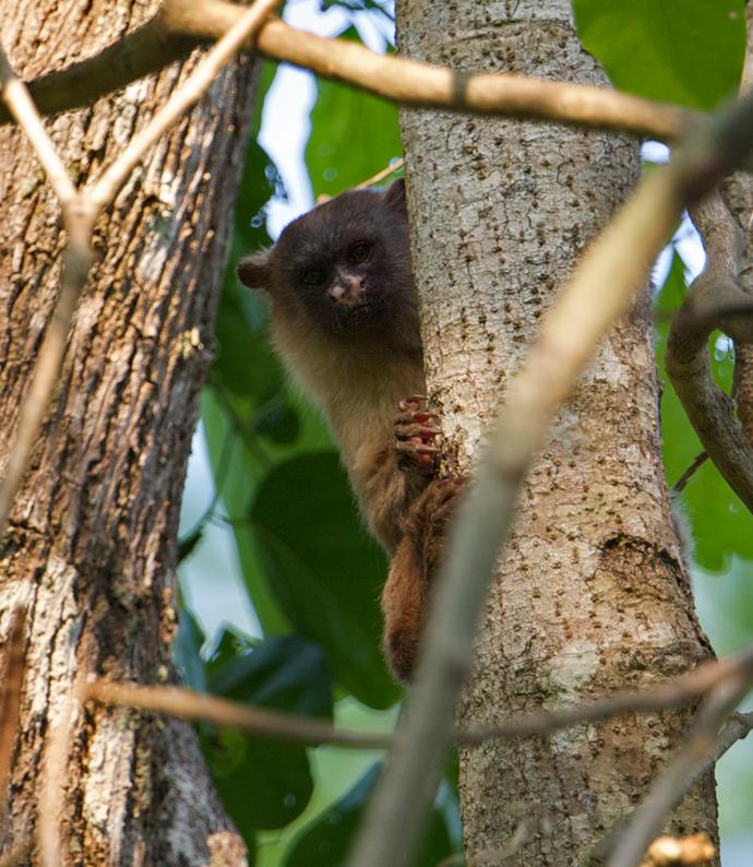 Silvery Marmoset, Pantanal, Brazil