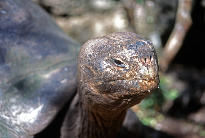 The Late Lonesome George, the Last Pinta Island Tortoise