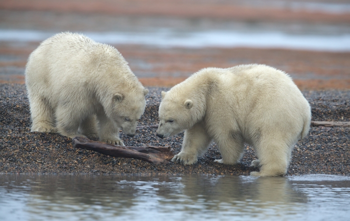 Cubs Playing with Driftwood – the World Is Full of Toys
