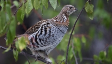 Ruffed Grouse in a Chokecherry Tree