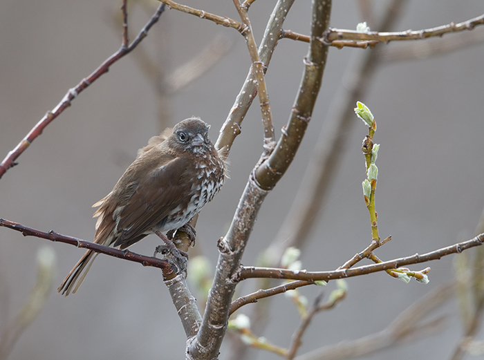 Fox Sparrow, Copper River Delta, Alaska