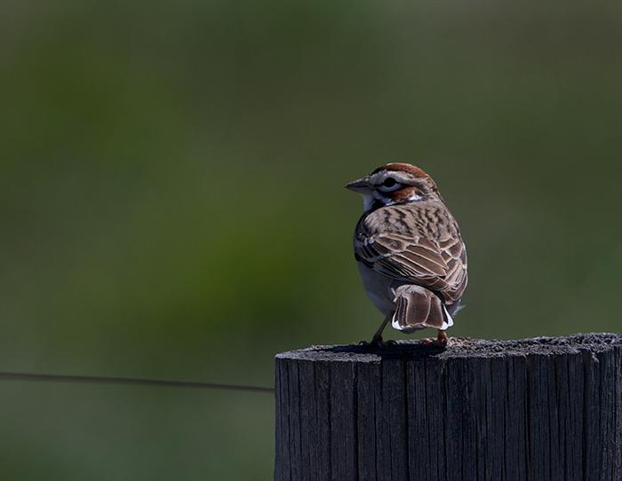 Uncooperative Lark Sparrow, Camas Prairie, Idaho