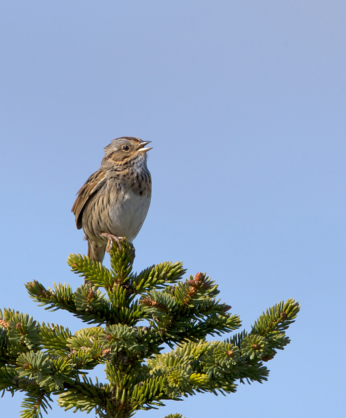 Lincoln's Sparrow, Aleganik Slough, Alaska