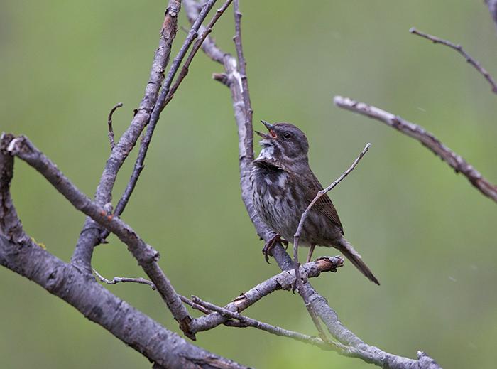 Song Sparrow, Copper River Delta, Alaska