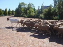 A Judas goat leading lambs to the slaughter, via WikiCommons
