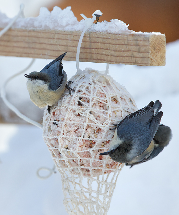Pygmy Nuthatches, McCall, Idaho