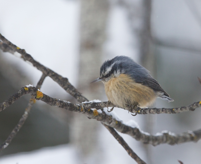 Red-breasted Nuthatch, McCall, Idaho