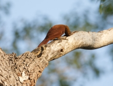 A Reddish Bird Grubbing on Branch
