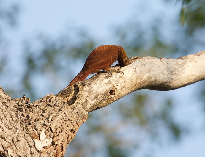 A Reddish Bird Grubbing on  Branch