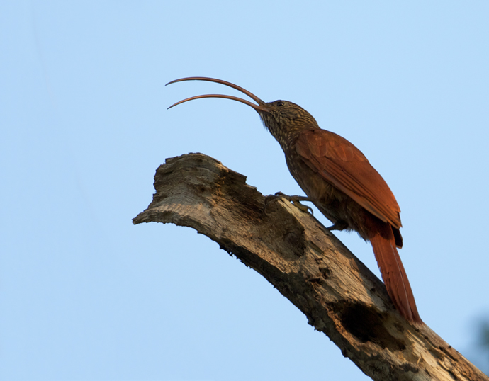 And When a Red-billed Scythebill Calls