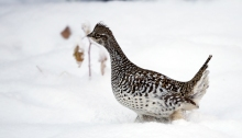 Sharp-tailed Grouse, Farmer's Loop Road