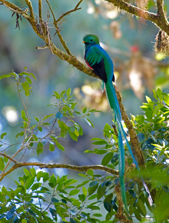 Resplendent Quetzal Male – Note Bushy head and Very Long Tail