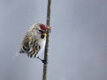 Common Redpoll in very low light