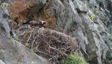 Golden Eagle on a Nest, Alaska Range