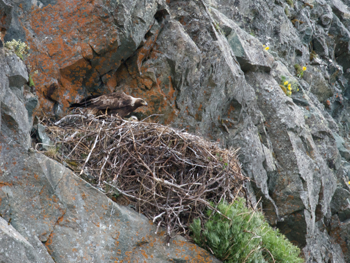 Golden Eagle on a Nest, Alaska Range