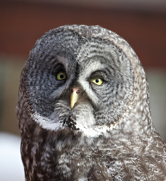 Gandalf, Female Great Gray Owl, an Educational Bird Kept by Bird TLC