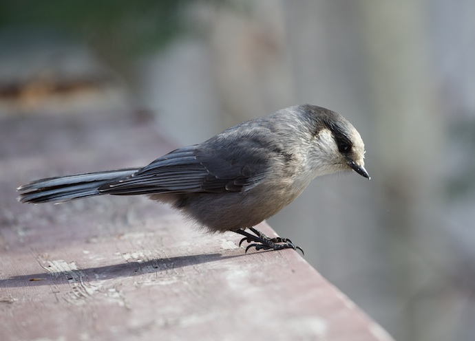 Gray Jay Doing a NIMBY