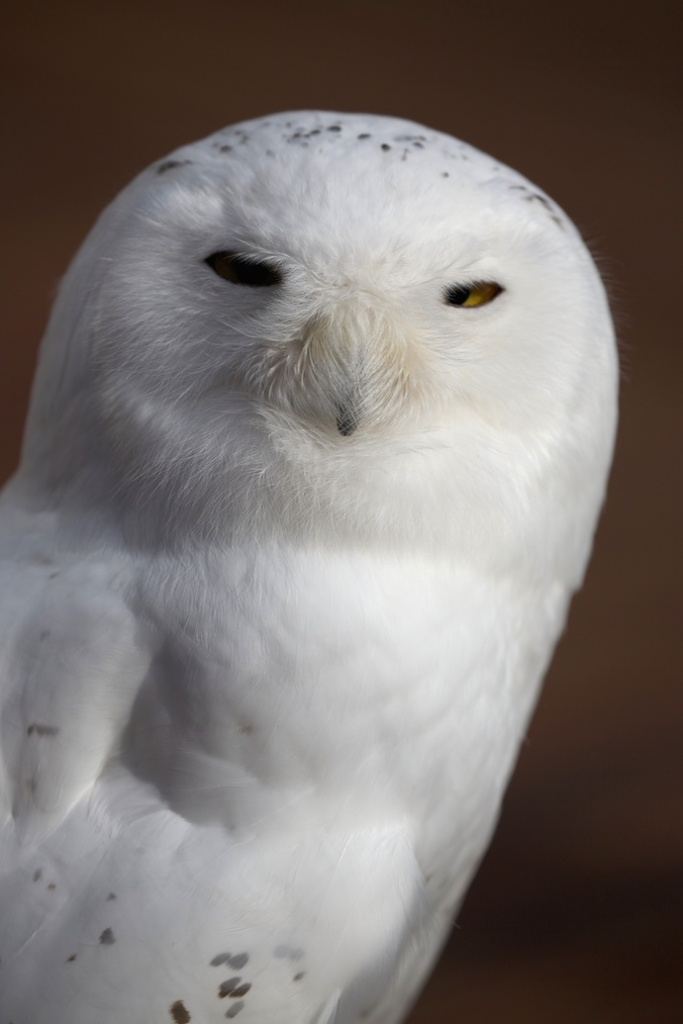 Ghost, Male Snowy Owl, an Educational Bird Kept by Bird TLC