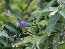 Tropical Parula, Ecuador, 2014