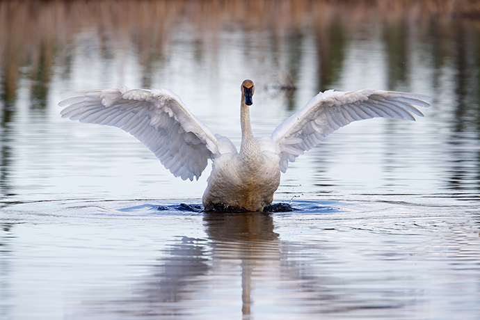 Trumpeter Swan Stretching Wings, Creamer's Refuge, Fairbanks