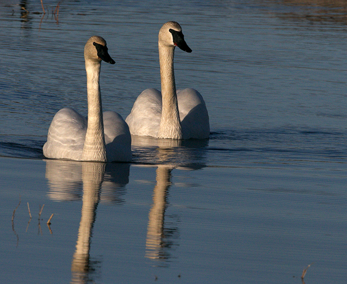 Trumpeter Swan Mated Pair, Delta Barley Project, Delta Junction, Alaska