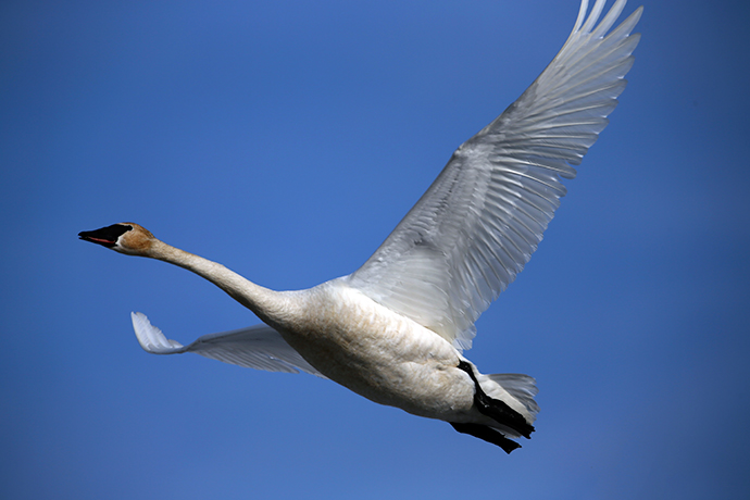 Trumpeter Swan in Flight, Delta Barley Project, Delta Junction, Alaska