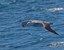 Wandering Albatross, Southern Ocean, 100 km NE of South Georgia Island