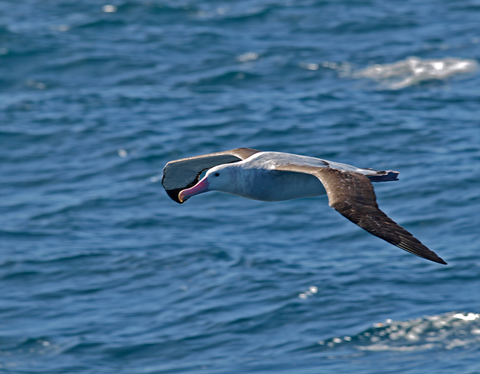 Wandering Albatross, Southern Ocean, 100 km NE of South Georgia Island