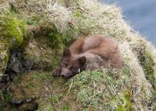 Arctic Fox, St. Paul Island, Pribilof Islands, Alaska