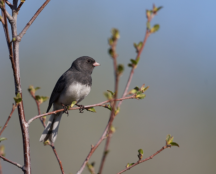 Dark-eyed (Slate-colored) Junco, Airport Ponds, May 2015