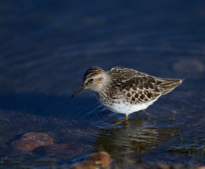 Least Sandpiper, Airport Ponds, May 2015