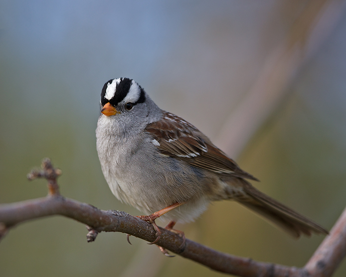 White-crowned Sparrow, Borgesson Botanical Garden, May 2015