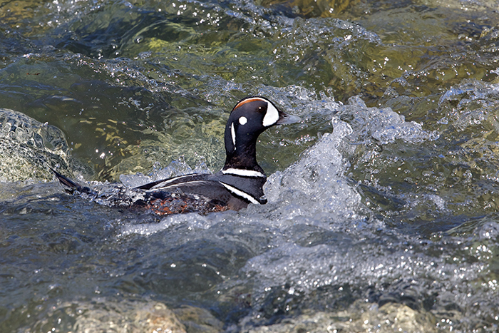 Harlequin Duck in white water, May, 2015