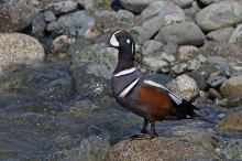 Harlequin Duck Drake, Gulkana River, May 2015