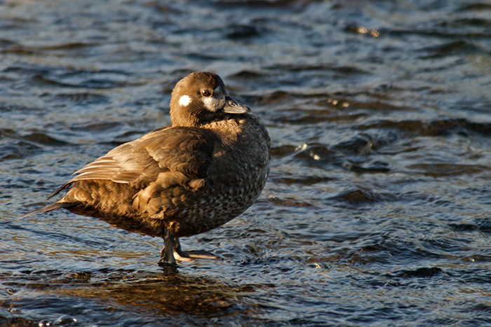 Harlequin Duck hen, Gulkana River, June 2009