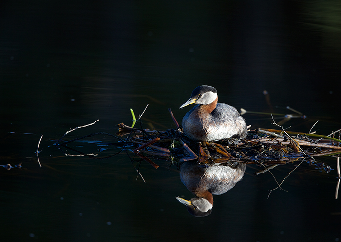 Red-necked Grebe on eggs
