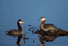 Red-necked Grebe greeting ritual