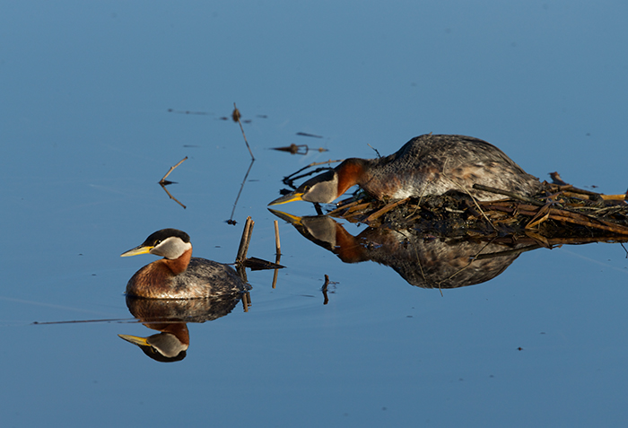 Red-necked Grebe reacting to approaching Mew Gull