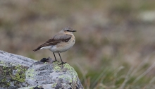 Northern Wheatear, Eagle Summit, May 2015