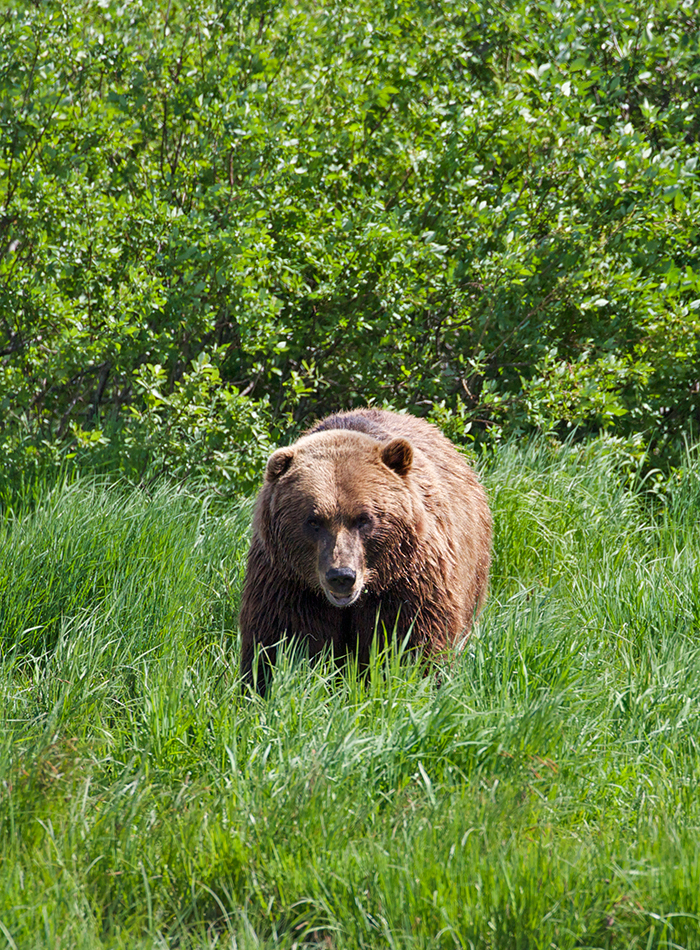 Captive Grizzly Bear, Alaska Wildlife Conservation Center
