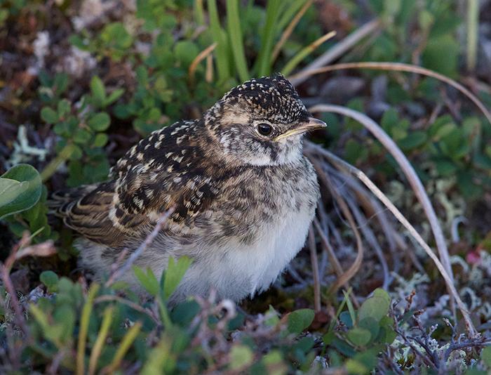 Horned Lark Chick, Denali Highway
