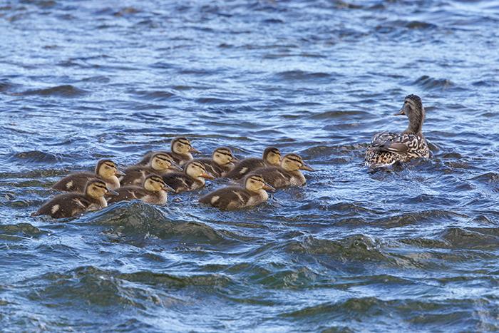 Mallard Hen in eclipse plumage and her ten (!) ducklings