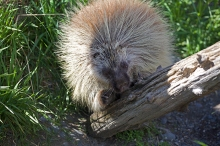 Captive Porcupine, Alaska Wildlife ConservationCenter