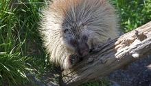 Captive Porcupine, Alaska Wildlife ConservationCenter