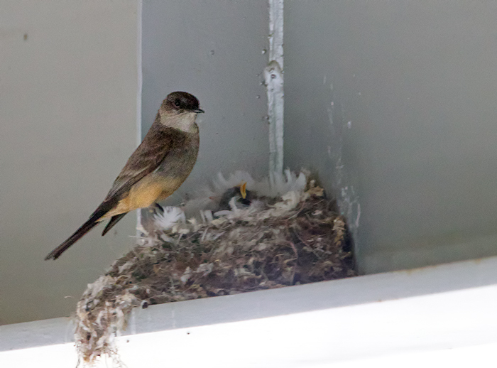 Say's Phoebe Nest on Bridge Abutment, Steese Highway