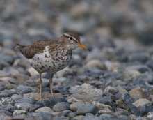 Spotted Sandpiper, Tangle River, Denali Highway